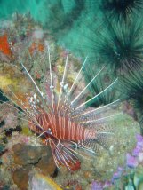 scorpion-fish.jpg